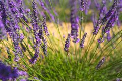Lavender inflorescence. Background stock photos