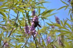Lavender? Stock Photos