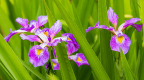 Lavender Iris and Leaves Stock Image