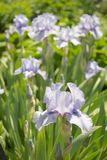 Lavender Iris. On a sunny Spring day Stock Images