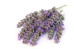 Lavender isolated Stock Image