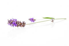 Lavender isolated. Stock Image