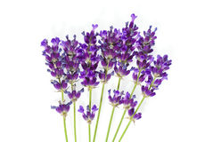 Lavender isolated on white stock images