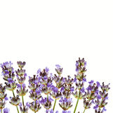 Lavender isolated on white Stock Image