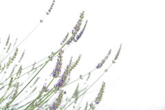 Light purple natural lavender flower on isolated white background Stock Images