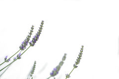Light purple natural lavender flower on isolated white background  Stock Photography