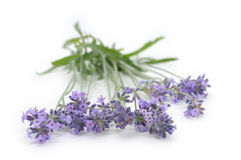 Lavender isolated on white Royalty Free Stock Photos