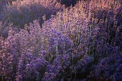 Lavender kissed from the morning sun. Near Kazanlak town, Bulgaria stock photos
