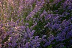 Lavender kissed from the morning sun. Near Kazanlak town, Bulgaria stock image