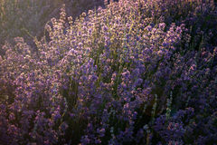 Lavender kissed from the morning sun royalty free stock image