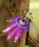 Lavender Lady Passiflora. A single Lavender Lady Passiflora flower, also known as Passilfora Amethyst, an evergreen tendril climbing vine stock images