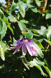 Lavender Lady Passiflora. A single Lavender Lady Passiflora flower, also known as Passilfora Amethyst, an evergreen tendril climbing vine stock photo