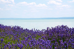 Lavender at Lake Balaton,Hungary Royalty Free Stock Photo