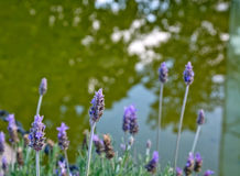 Lavender by lake closeup Stock Images