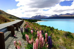Lavender by lake pukaki Stock Photo