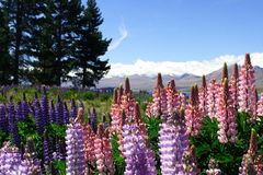 Lavender by lake Tekapo (2) Royalty Free Stock Photography