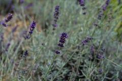 Lavender lamiaceae angustifolia lavandula εγκαταστάσεων χορταριών από την Ευρώπη στον κήπο Στοκ Εικόνα
