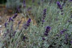 Lavender lamiaceae angustifolia lavandula εγκαταστάσεων χορταριών από την Ευρώπη στον κήπο Στοκ εικόνα με δικαίωμα ελεύθερης χρήσης