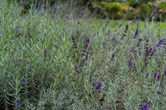 Lavender lamiaceae angustifolia lavandula εγκαταστάσεων χορταριών από την Ευρώπη στον κήπο Στοκ φωτογραφίες με δικαίωμα ελεύθερης χρήσης