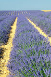 Lavender in the landscape. Image shows a lavender field in the region of Provence, southern France Royalty Free Stock Image