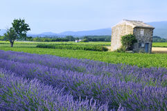 Lavender in the landscape. Image shows a lavender field in the region of Provence, southern France Stock Photos