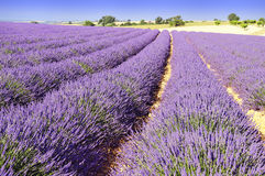Lavender in the landscape. Image shows a lavender field in the region of Provence, southern France Royalty Free Stock Images