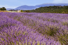 Lavender in the landscape Royalty Free Stock Photo