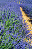 Lavender in the landscape Stock Images