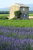 Lavender in the landscape Royalty Free Stock Photography