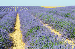Lavender in the landscape Stock Photo