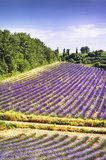 Lavender in the landscape Royalty Free Stock Photos