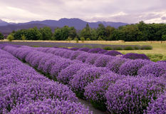 Lavender landscape. Purple landscape at a lavender farm in Sequim, Washington, Lavender Capitol USA Royalty Free Stock Photography