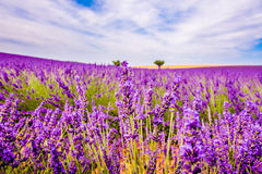 Lavender with landscape in the background. Lavender field Royalty Free Stock Photography