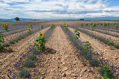 Lavender landscape Royalty Free Stock Photo