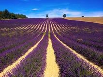 Lavender landscape Stock Photography