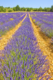Lavender landscape in the south of France Royalty Free Stock Images