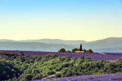 Lavender landscape in Valensole plateau, France royalty free stock photo