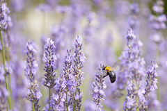 Lavender and Large Carpenter Bee Stock Images