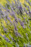 The lavender (Lavandula). Organic lavender field and closeups in Hvar island,Croatia Royalty Free Stock Photography