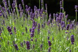 Lavender, Lavandula Stock Photo