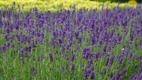 Lavender, Lavandula Royalty Free Stock Image