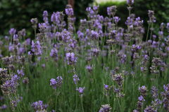 Lavender - Lavandula Stock Photography