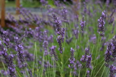 Lavender - Lavandula Royalty Free Stock Photo