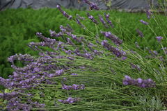 Lavender - Lavandula Stock Photo