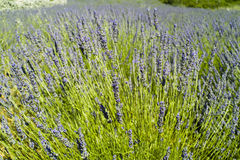 The lavender (Lavandula) bush and field Royalty Free Stock Image