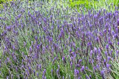 Lavender Lavandula field in the spring stock photo