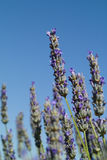 The lavender (Lavandula) flower closeup Stock Image