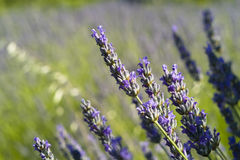 The lavender (Lavandula) flower closeup. Organic lavender field and closeups in Hvar island,Croatia Stock Images