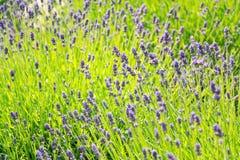 Lavender lavandula flowering plant purple green field, sunlight soft focus. Blur background copy space stock photography