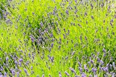 Lavender lavandula flowering plant purple green field, sunlight soft focus. Blur background copy space royalty free stock photo